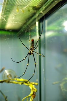 Giant golden orb weaver, Nephila sp. Found in Malaysia and the tropics, the female orb weavers are far larger than the males.