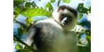 Eating tannin-rich plants may help increase successful pregnancies in sifaka lemurs. Image credit: Wikimedia, or Jean-Louis Vandevivère.