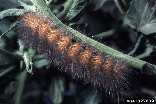 Woolly bear caterpillars fight parasitic flies by eating plants rich in toxic pyrrolizidine alkyloids. Image credit: Wikimedia, Alton N. Sparks, Jr