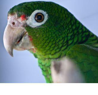 The Puerto Rican parrot (Amazona vittata)