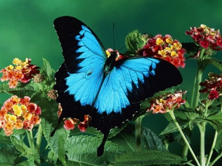 Complex nanostructures within the scales of the Ulysses butterfly's wings help enhance the absorption of light by pigments found in the scales—resulting in an ultra-black and opaque surface.