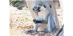 The scrotum of the vervet monkey gets its blue hue from  a thin layer of collagen, a few millimeters thick and arranged in triple helices, resting on top of the upper skin layer.