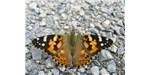 An adult painted lady butterfly.