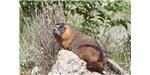 The yellow-bellied marmot (Marmota flaviventris)