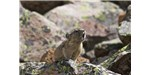 The pika (Ochotona sp.), a relative of rabbits and hares that is often found in the same habitats as marmots.