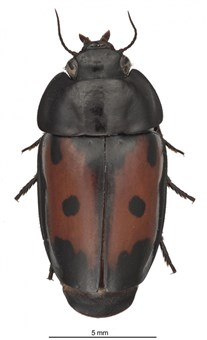The Spectacular Guyane False-form beetle, Guyanemorpha spectabilis, which was discovered this year in French Guiana