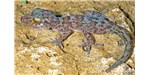 A new species of nocturnal gecko (Paroedura hordiesi) was found living in an old French fort in northern Madagascar.