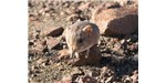 This new species of elephant shrew (Macroscelides micus) blends in with the Namib Desert's red soil.