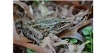 A new frog species, the Atlantic Coast leopard frog (Rana kauffeldi) ranges from Connecticut to North Carolina.