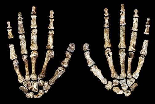 H. naledi hands