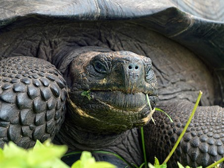 The Eastern Santa Cruz tortoise <em>Chelonoidis donfaustoi</em>, of Santa Cruz Island, is one of several species native to the Galapagos Islands.