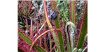 The carnivorous plant Drosera magnifica was first identified from a Facebook photograph.