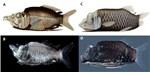 Two newly discovered species of deep-sea fish, which were distinguished by pigment patterns on light-controlling organs called soles