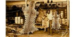Luxury pelts of jaguar, giant otter, neotropical otter, and ocelot in a Manaus tannery during the 1950s