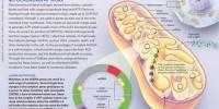 image: Mitochondria at Work