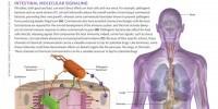 image: Intestinal Molecular Signaling
