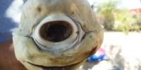 image: One-Eyed Shark