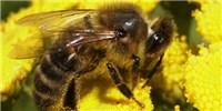 image: Honey Bee Killer