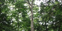 image: American Chestnut to Rise Again
