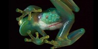 image: Image of the Day - Glass Frog