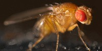 image: Twitching Flies Tell Epilepsy's Tale