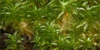 image: Moss Harbors Foreign Genes