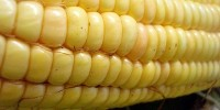 image: Further Dismissal of GM Corn Study