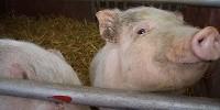 image: Pigs Raise Blood Pressure