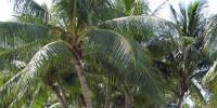 image: Coconut Gene Bank Threatened