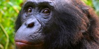 image: Embattled Ape Researcher Reinstated