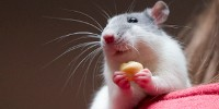 image: Rats Get Placebo Effect