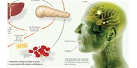 image: Insulin's Role in Body and Brain