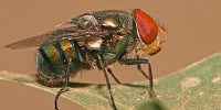 image: Fly Guts Reveal Animal Inventory