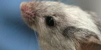 image: Deaf Mice Hear Again