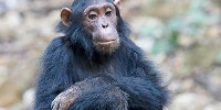 image: NIH Chimps Pushed Toward Retirement