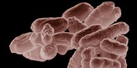 image: Bacteria Boost Vaccine Effectiveness