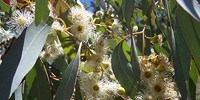 image: Diverse Leaves May Protect Eucalyptus