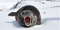 image: Seals Reveal Ocean Secrets