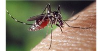 image: How Dengue Does It