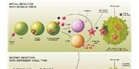 image: Antibody-Dependent Enhanced (ADE) Immunity