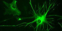 image: Mice Learn Faster with Human Glia