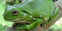 image: Native Frogs Beat Invasive Toads