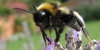 image: Bee Venom for HIV Prevention