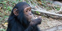 image: Great Ape Research Decision