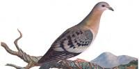 image: Reviving an Extinct Pigeon