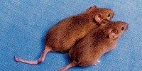 image: Image of the Day: Almost Identical Mice