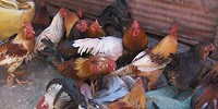 image: Mysterious Avian Influenza in China