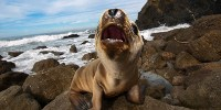 image: Mysterious Sea Lion Stranding Continues
