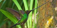 image: Image of the Day: Sword-Billed Hummingbird
