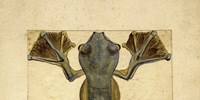 image: Flying Frog, 1855